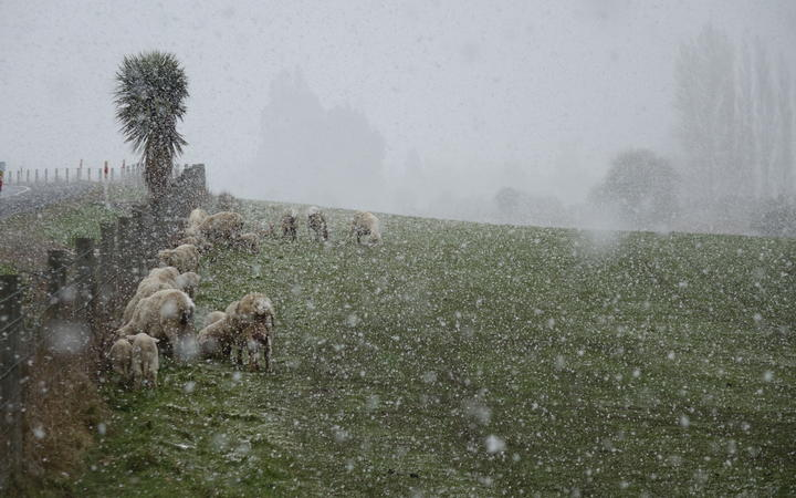 Livestock holding out on a farm near Waihola, Otago as the frost kicks in during a wintry blast...
