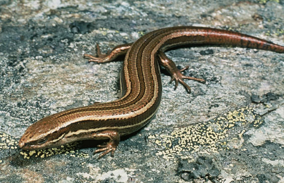 New Zealand has more than 110 species of lizard and none of them are found anywhere else in the...