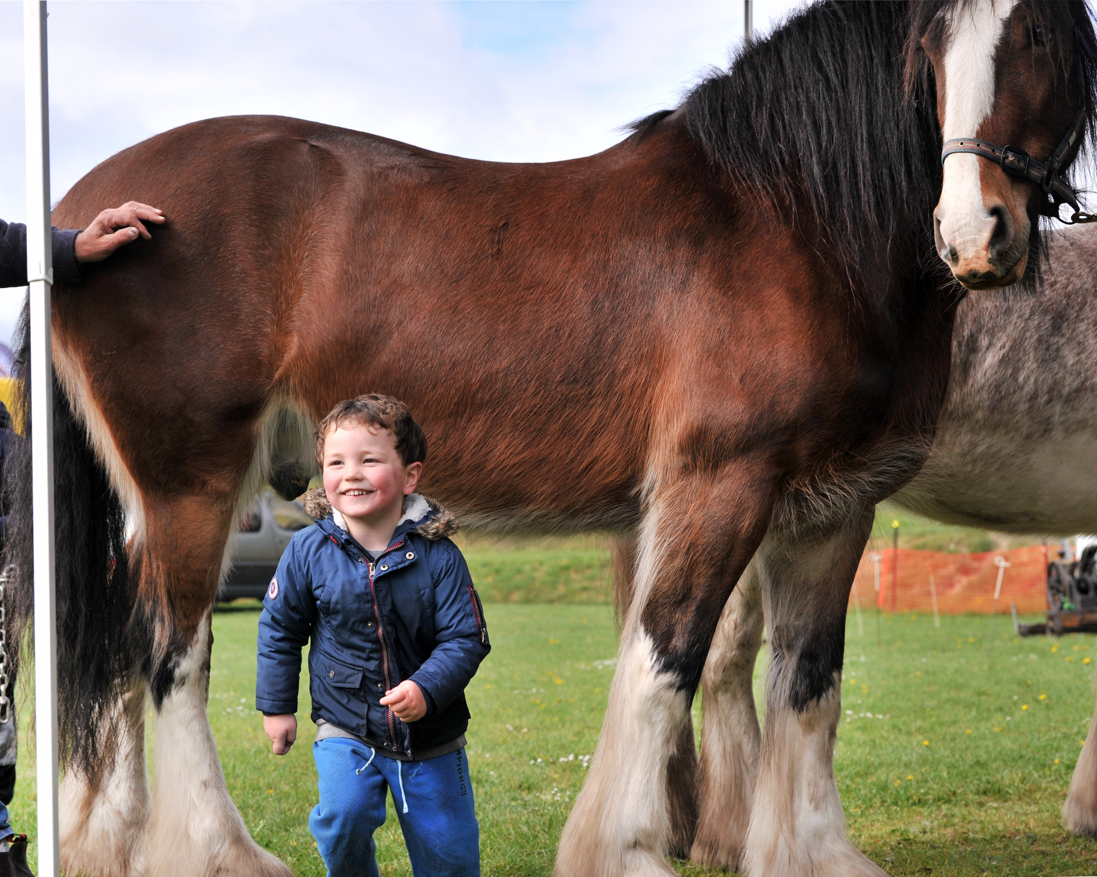 Connor O'Callaghan-Hall (3) checks out Dayboo Sam on display at the Otago Field Days yesterday....