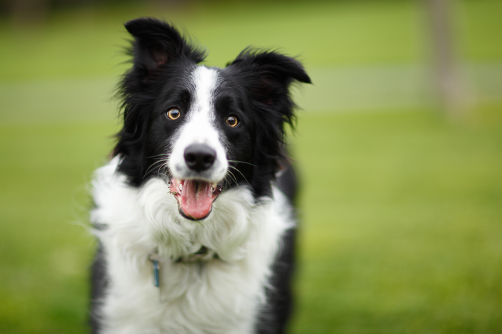 Border Collies are particularly good at learning the names of objects. Photo: Getty Images