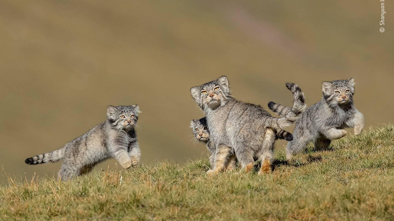 Photo: Shanyuan Li / Wildlife Photographer of the Year