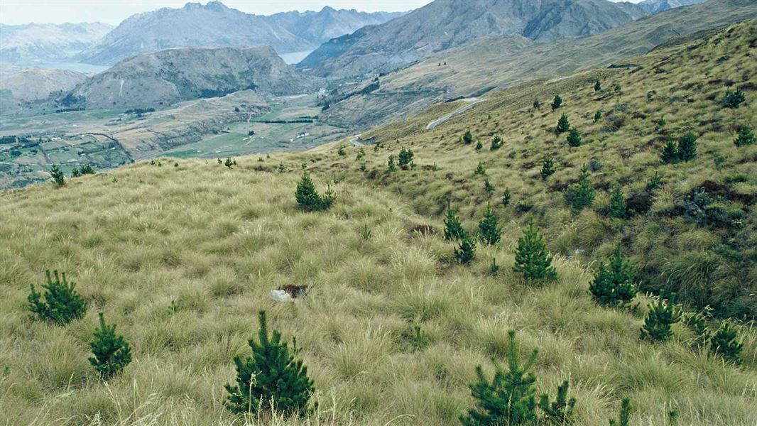 Wilding conifers are invasive weeds that threaten to permanently alter the unique landscapes of...