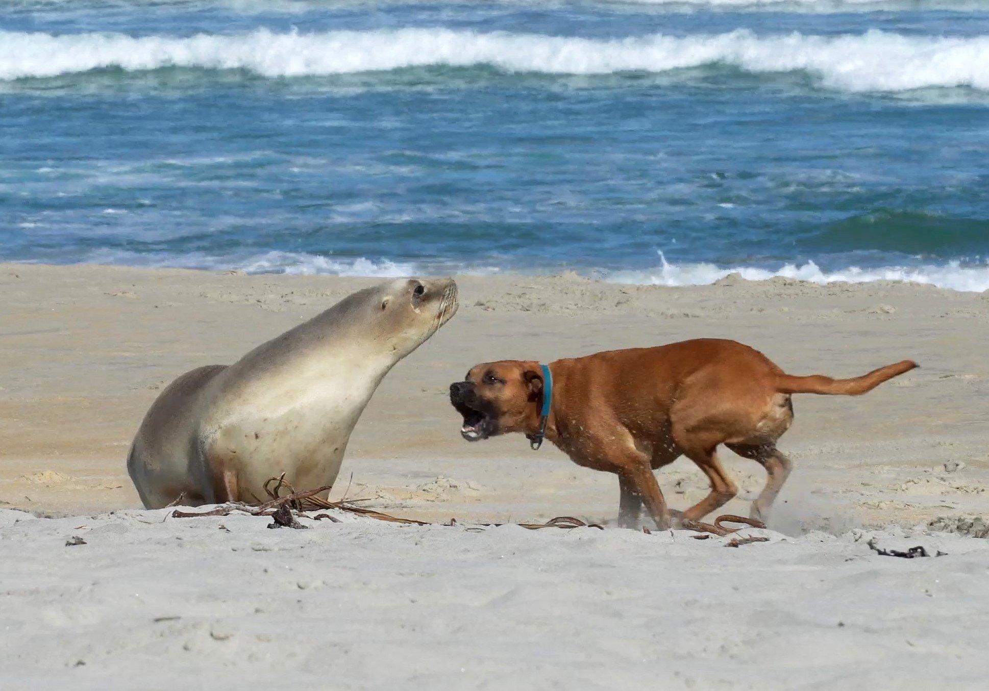 A dog off its leash disturbs a sea lion resting on Smaills Beach, in Dunedin, last week. PHOTO:...