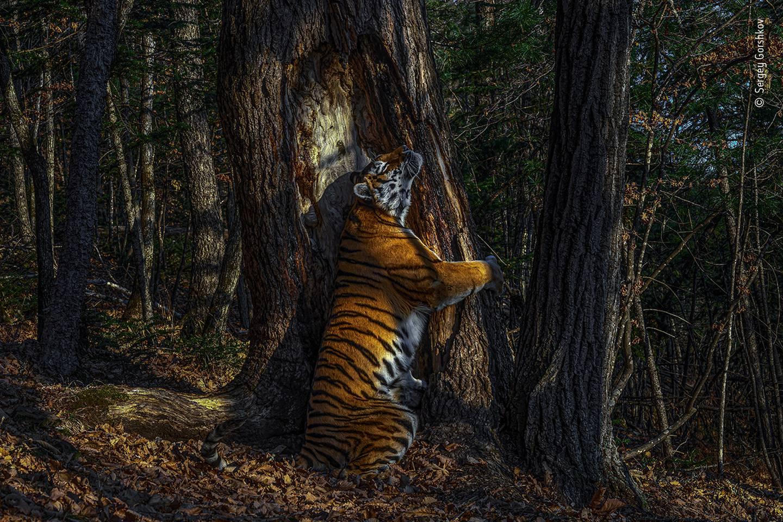Wild and free Siberian Tiger. Photo: Sergey Gorshkov / Wildlife Photographer of the Year