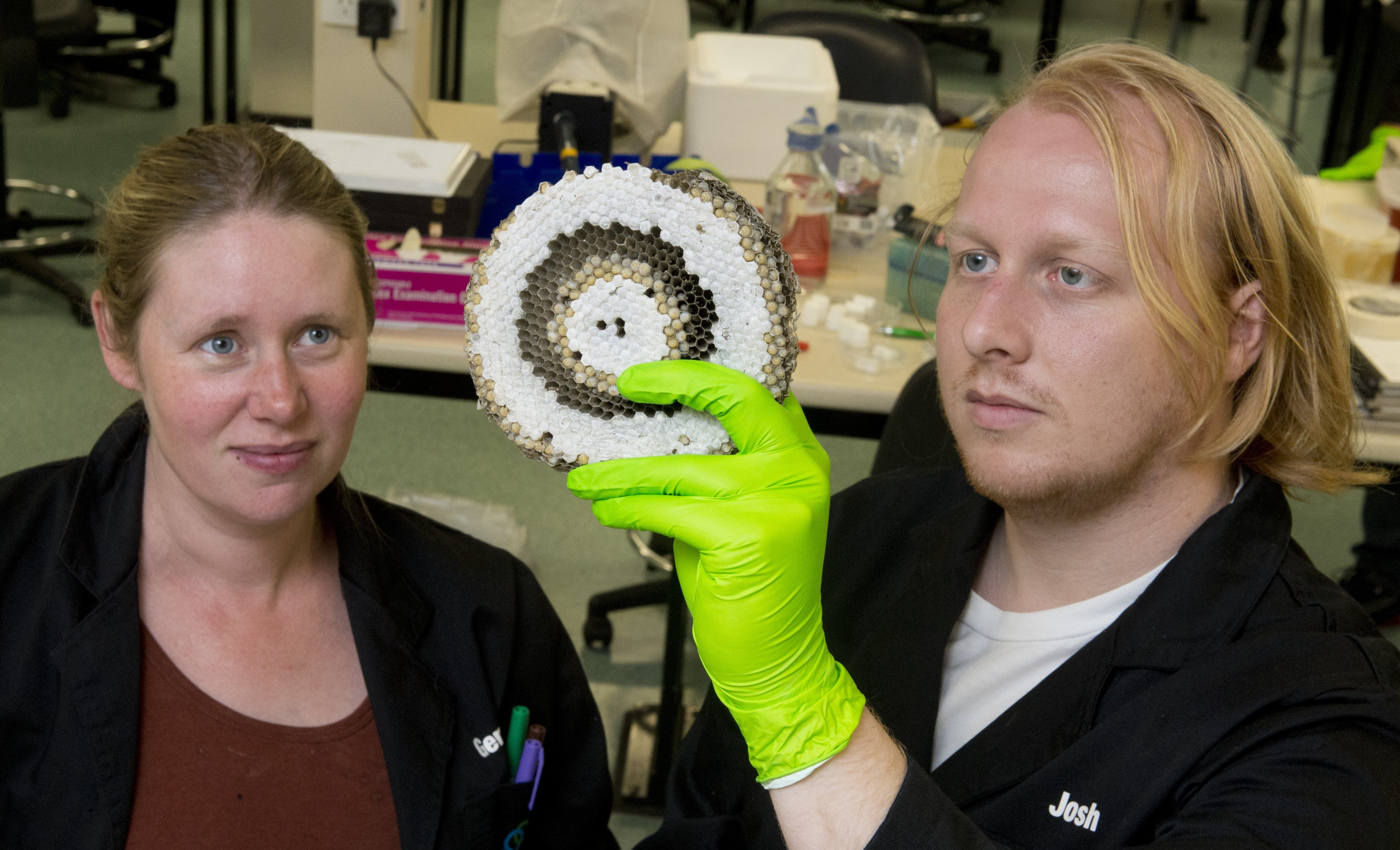 University of Otago students Gemma McLaughlin and Josh Gilligan check out part of a wasp nest...