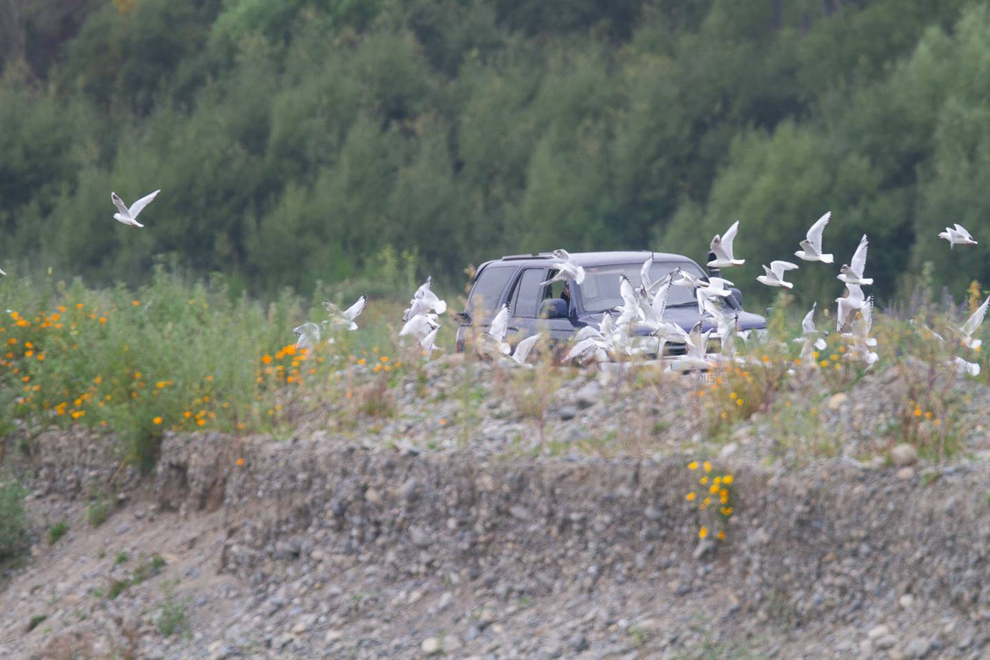 About 10 black-billed gulls have reportedly been killed at the colony this season. Photo: Grant...