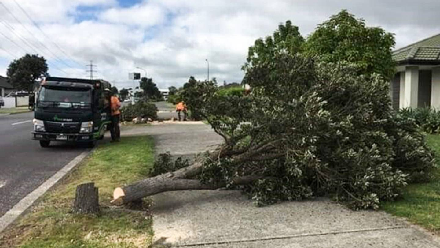 The pohutukawa trees were felled at their base by chainsaw.