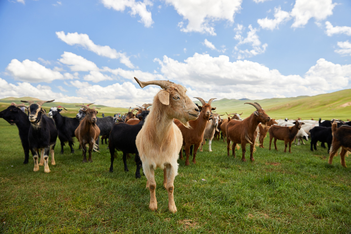 Two goats were slaughtered in what's been described as a religious ritual. File Photo: Getty Images