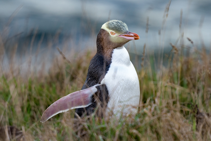 The yellow-eyed penguin chicks are being killed by a mystery illness. Photo: Getty Images