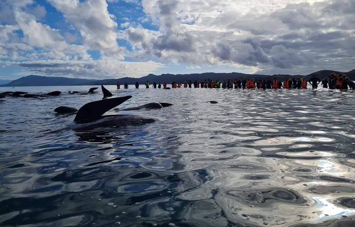 The whales being refloated on Monday evening from the base of Farewell Spit in Golden Bay. Photo:...