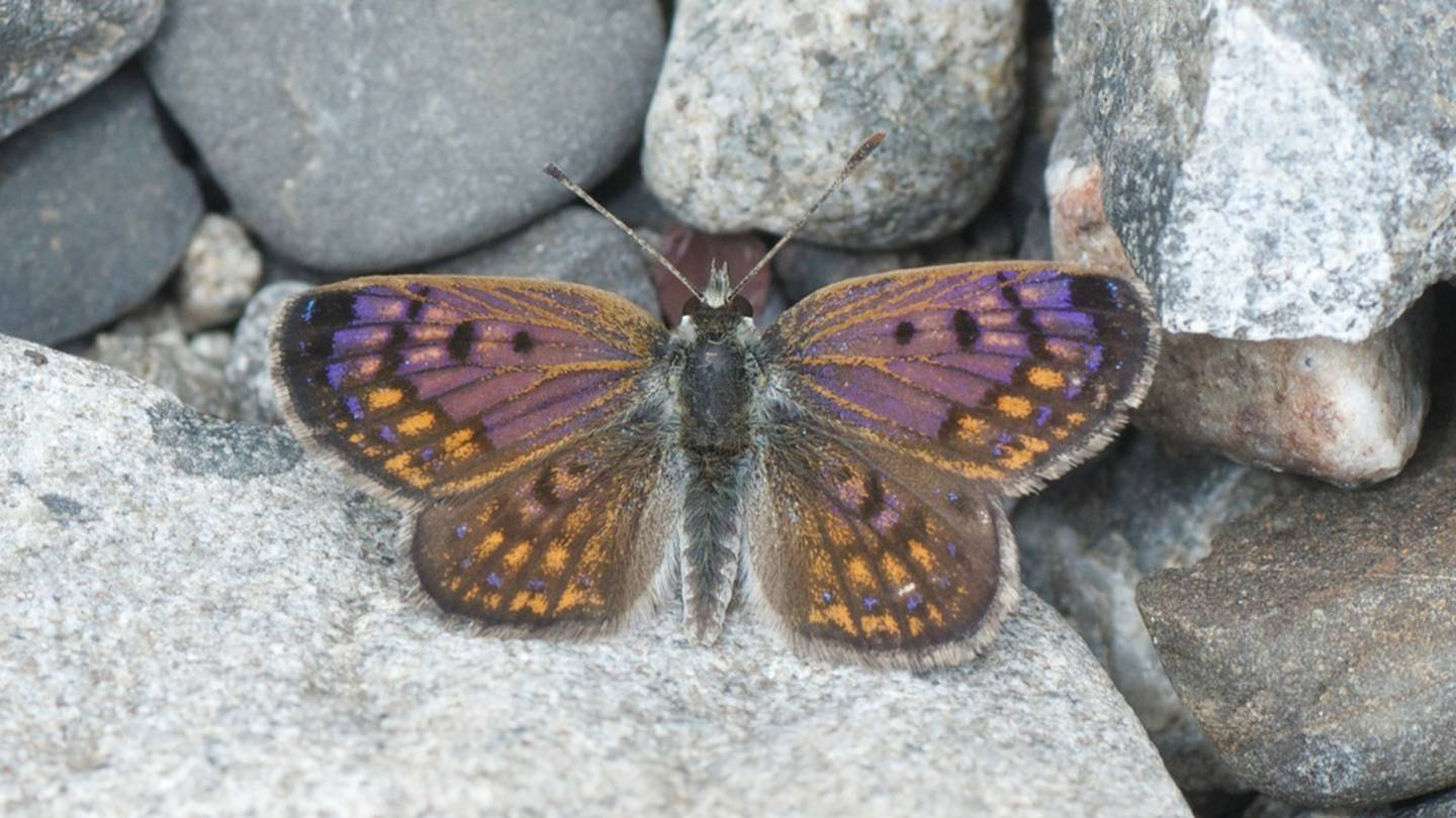 The boulder copper butterfly. Photo: Supplied