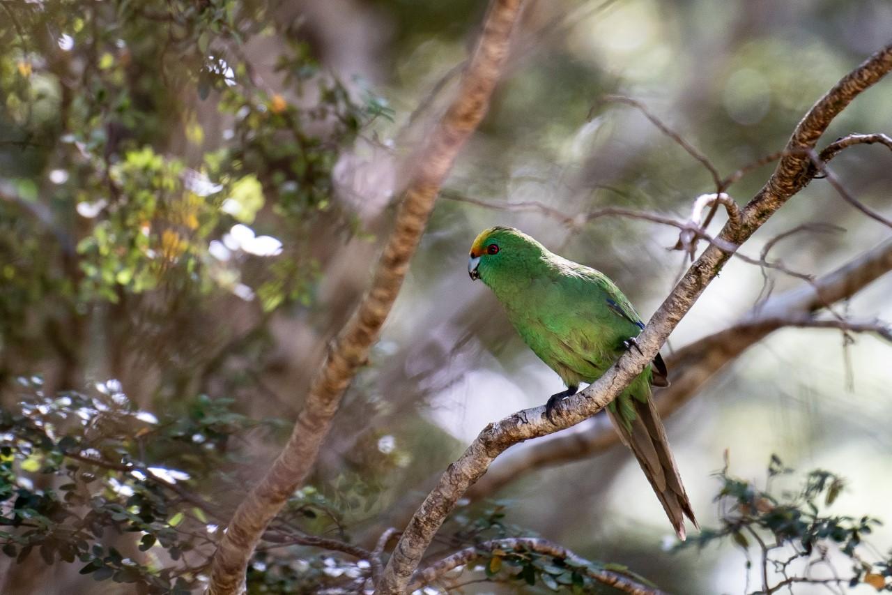A wild kākāriki karaka in the Hurunui South Branch in Lake Sumner (Hoka Kura) Forest Park. Photo:...
