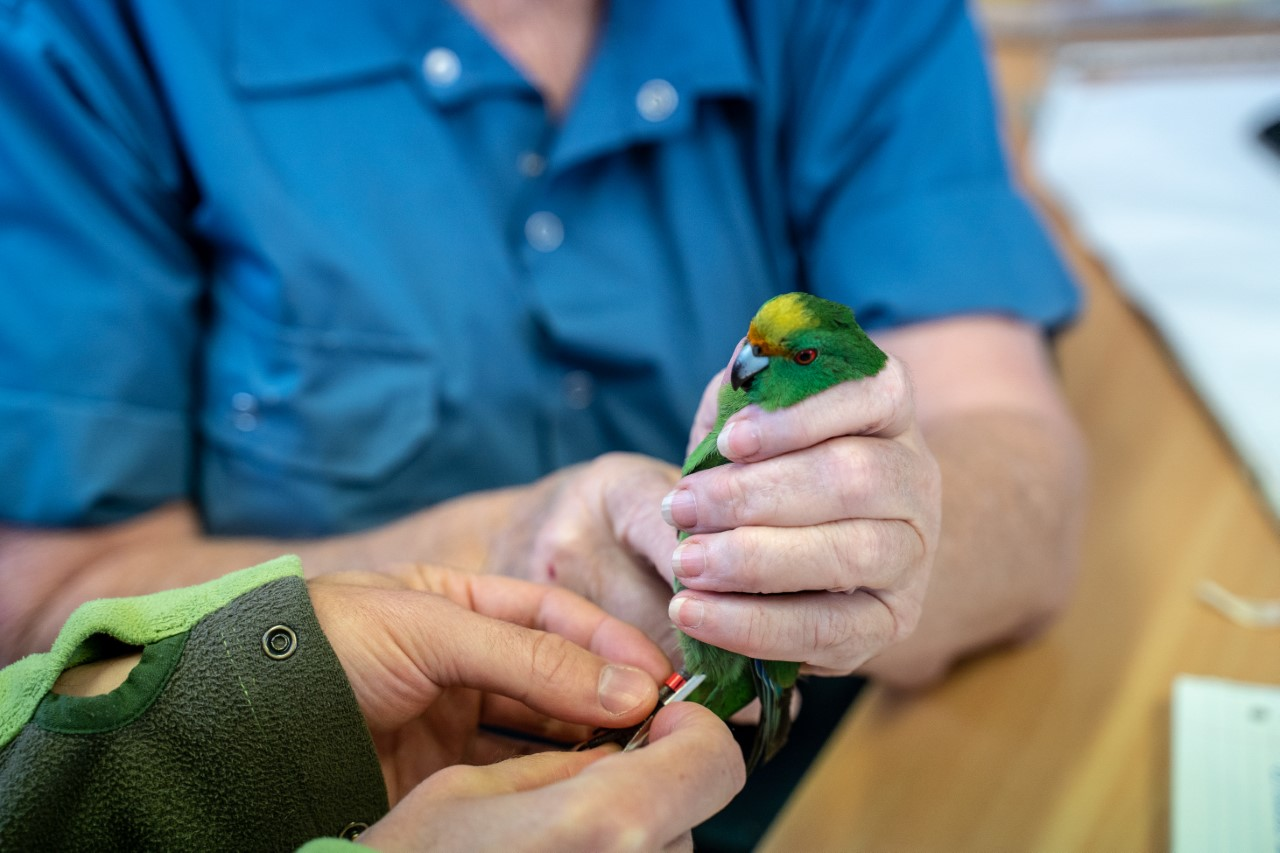 A kākāriki karaka is banded at Isaac Conservation and Wildlife Trust to prepare for its release...