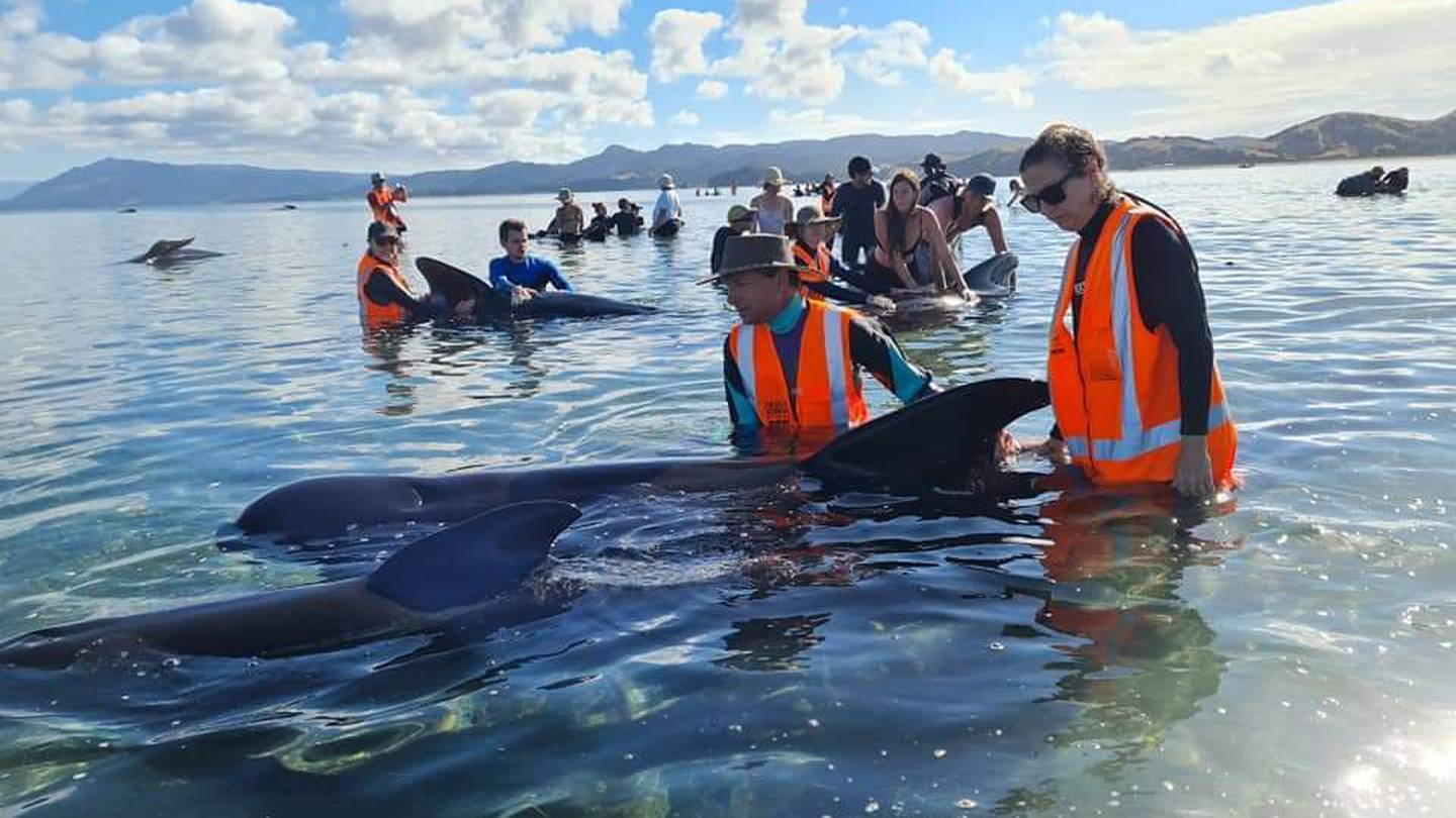 Project Jonah and DOC were on the scene of the stranding at Farewell Spit yesterday. Photo:...