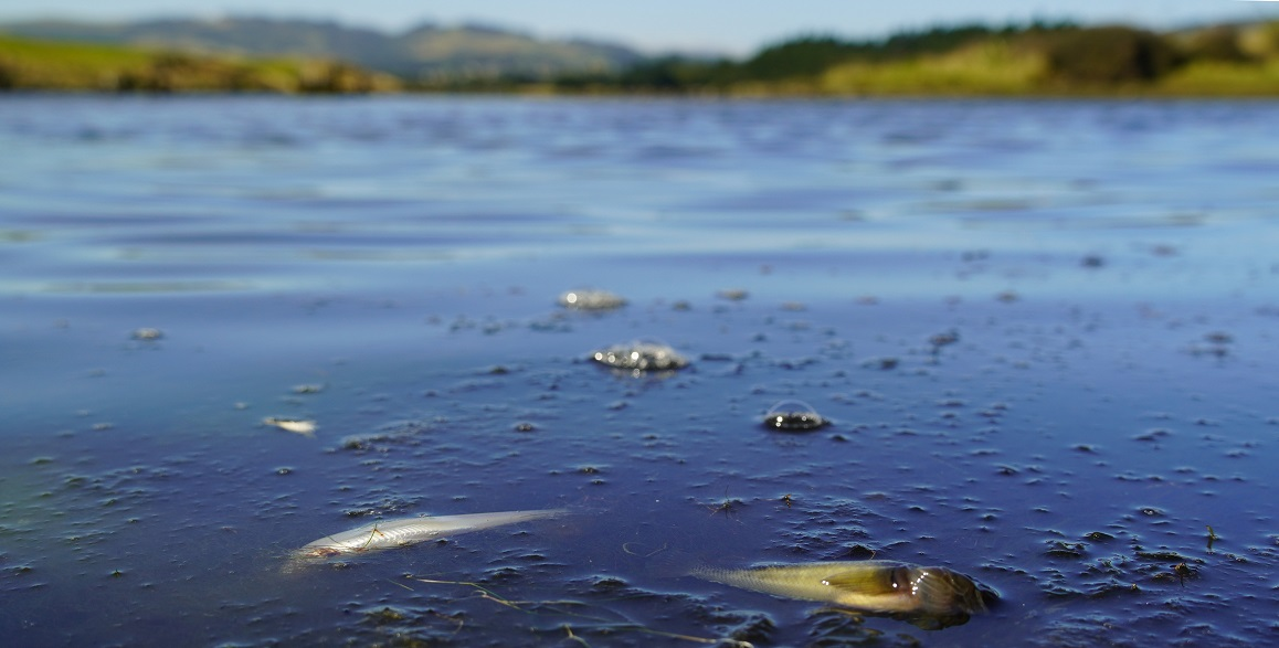 Hundreds of fish including several native species were found dead in the Kaikorai Stream and...