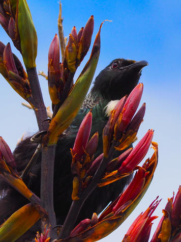 This Tūī photographed by Angus Winter, 9, won the 10 Years and Under category. Photo: Angus Winter
