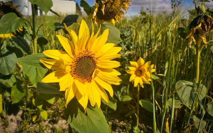 Millions of sunflowers on the Darlings' farm will soon be harvested and turned into sunflower oil...