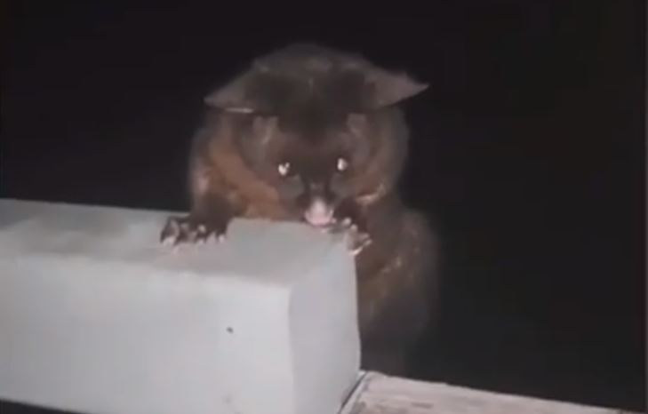 A Kiwi man punched this possum in the face in a 'deplorable animal cruelty act'. Image: TikTok