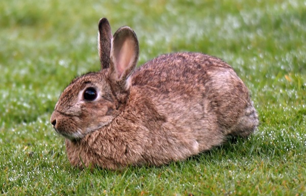 Otago Regional Council's planning a landowner-led rabbit control operation later this year. PHOTO...