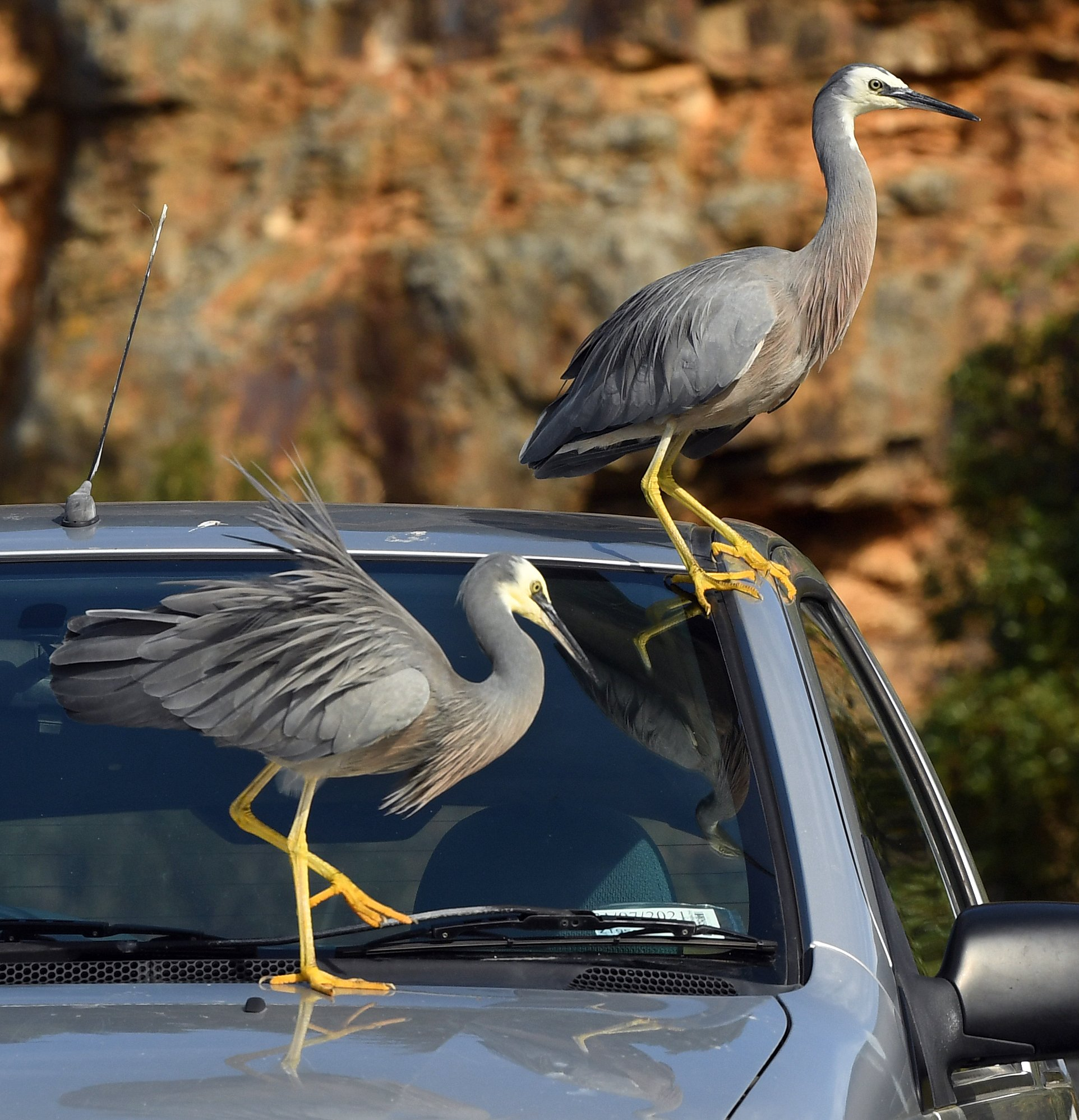 Two white-faced herons explore a car parked near the Careys Bay wharf, in Dunedin. Photo: Stephen...