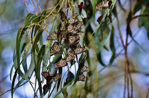 Monarchs fluttering between large eucalyptus trees as they settle in for the winter. Photo: Susan...