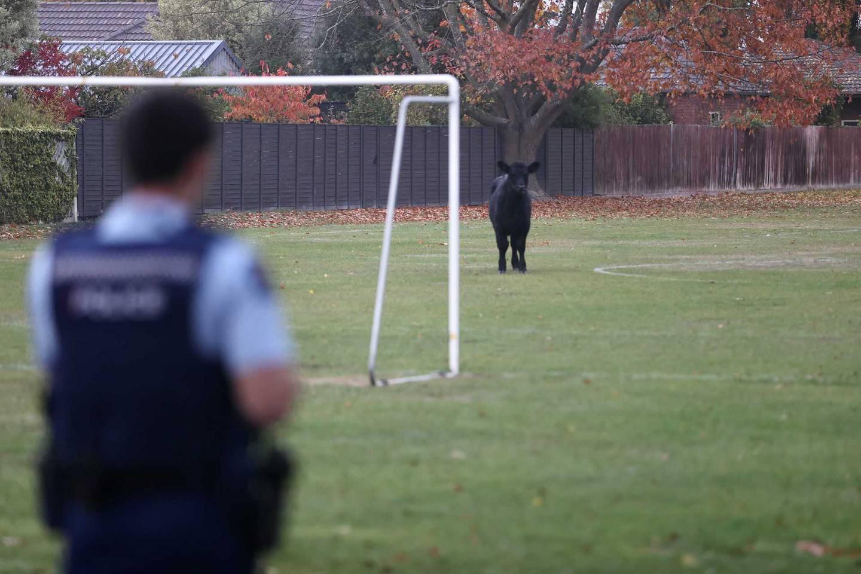 A bull at Somerfield Park. Photo: George Heard