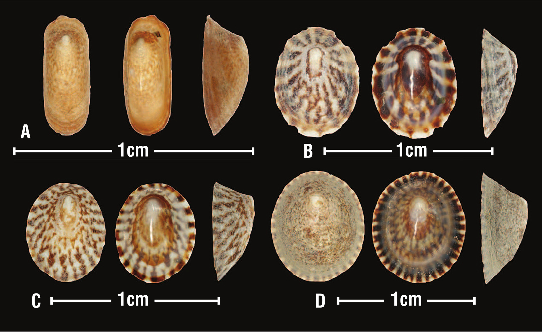 Species of Notoacmea  that live on or near Zostera beds in New Zealand. A: Notoacmea scapha from...