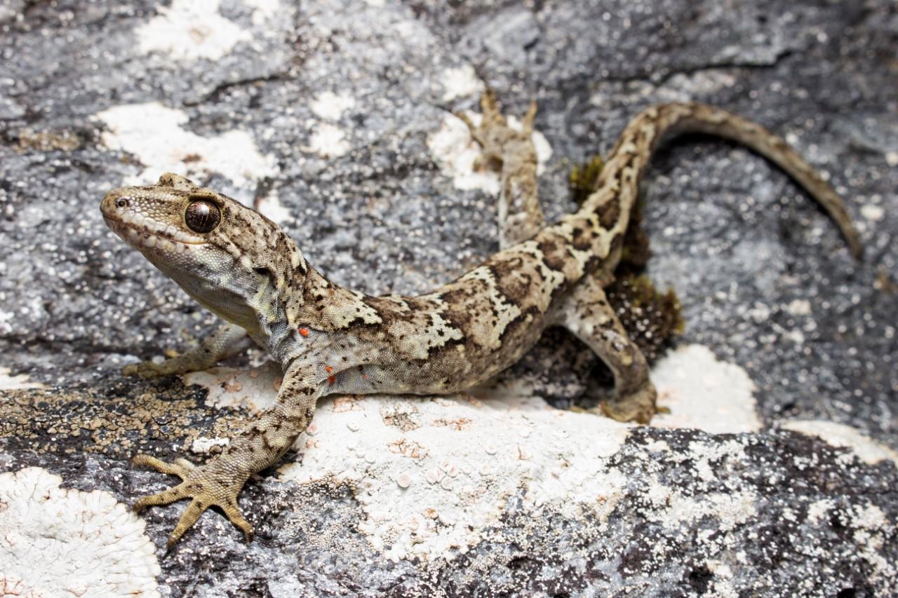 A gecko found in Mount Aspiring National Park. Photo: Samuel Purdie