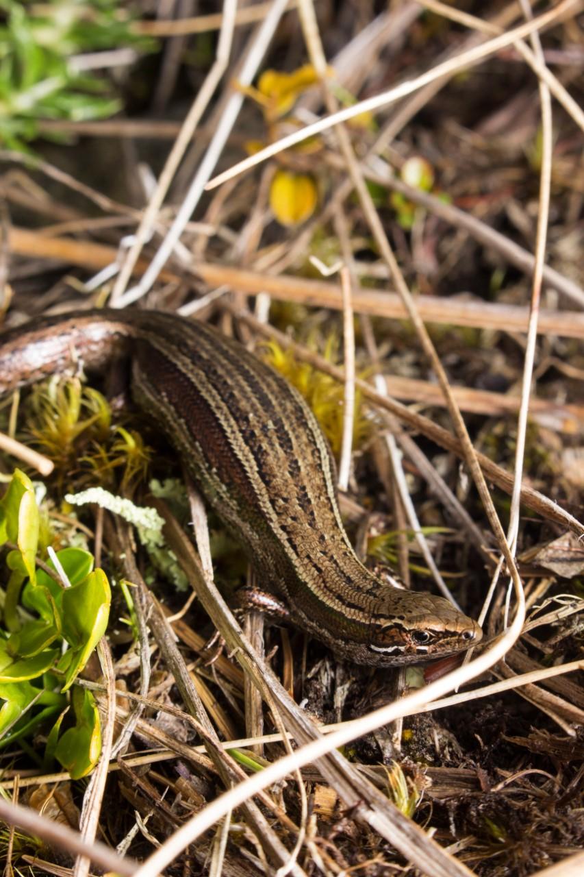 A skink found in Hooker Landsborough Wilderness Area. Photo: Samuel Purdie