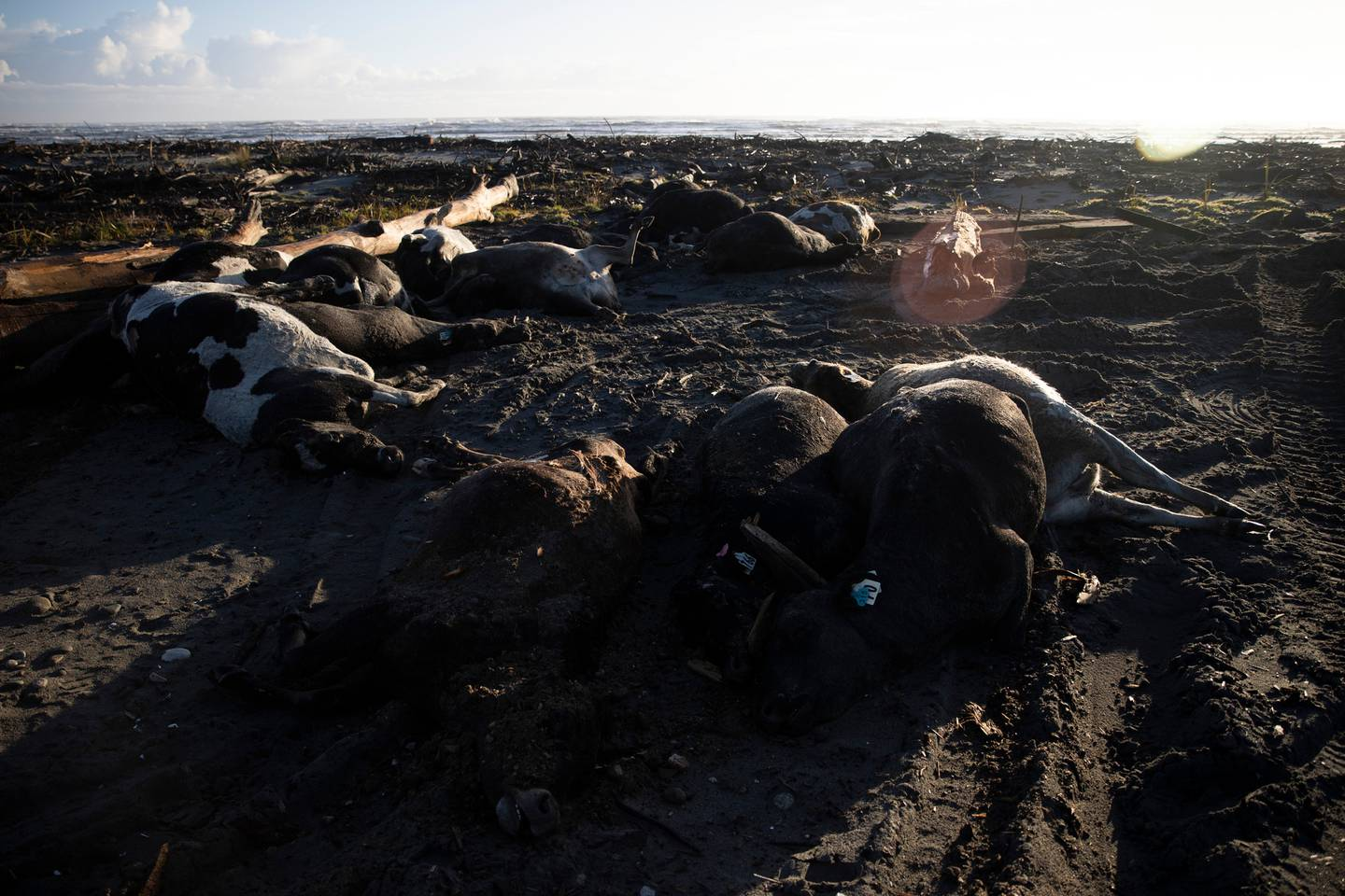 Hundreds of cows were killed in the floods at the weekend. Photo: NZ Herald