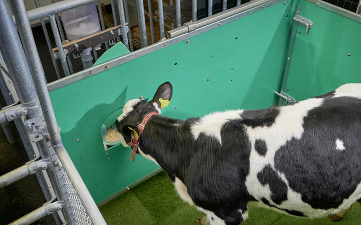 A calf gets its sugar water treat for using the toilet. Photo: FBN