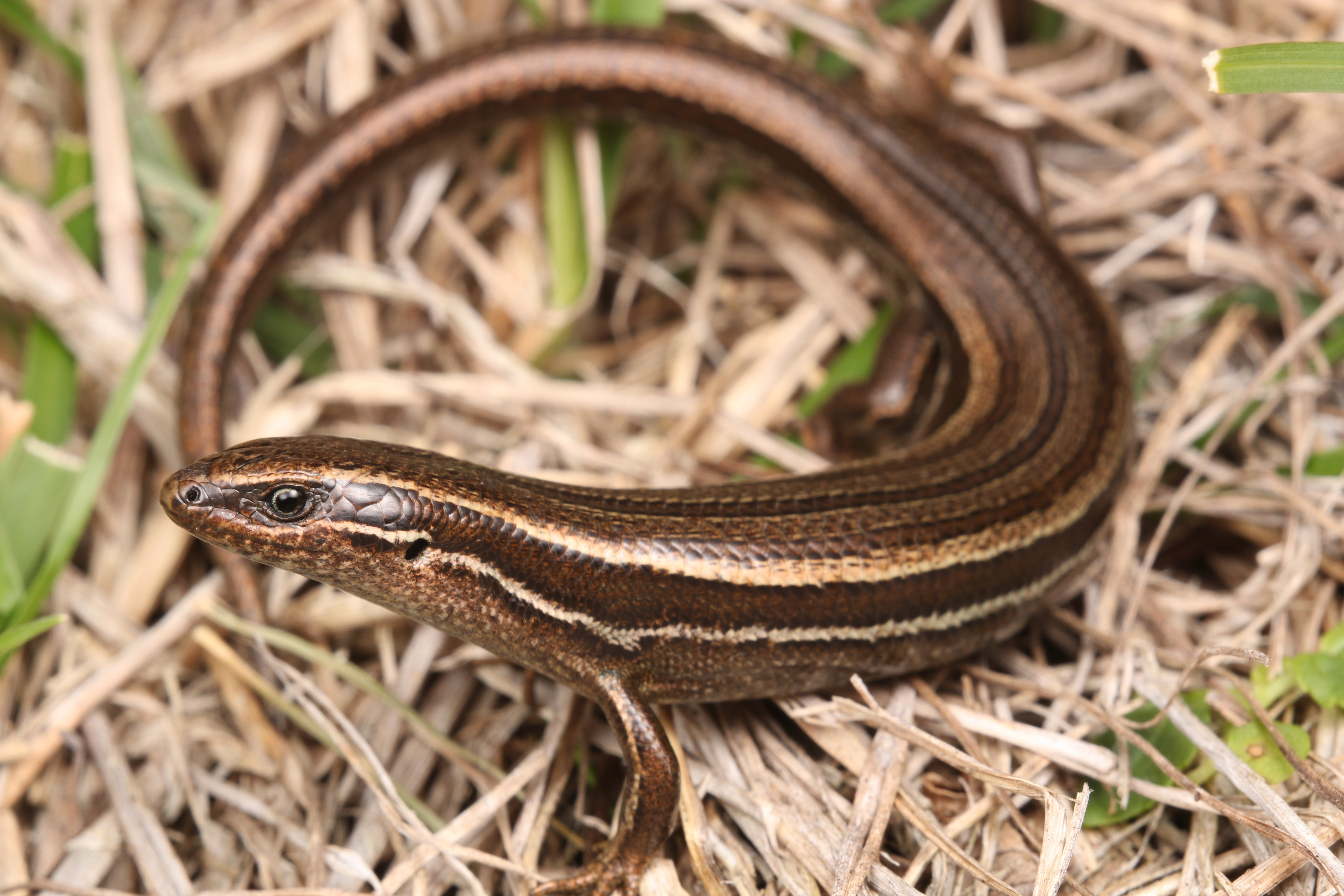 Southern grass skink (Oligosoma aff. polychroma Clade 5) can be found throughout Dunedin and can...
