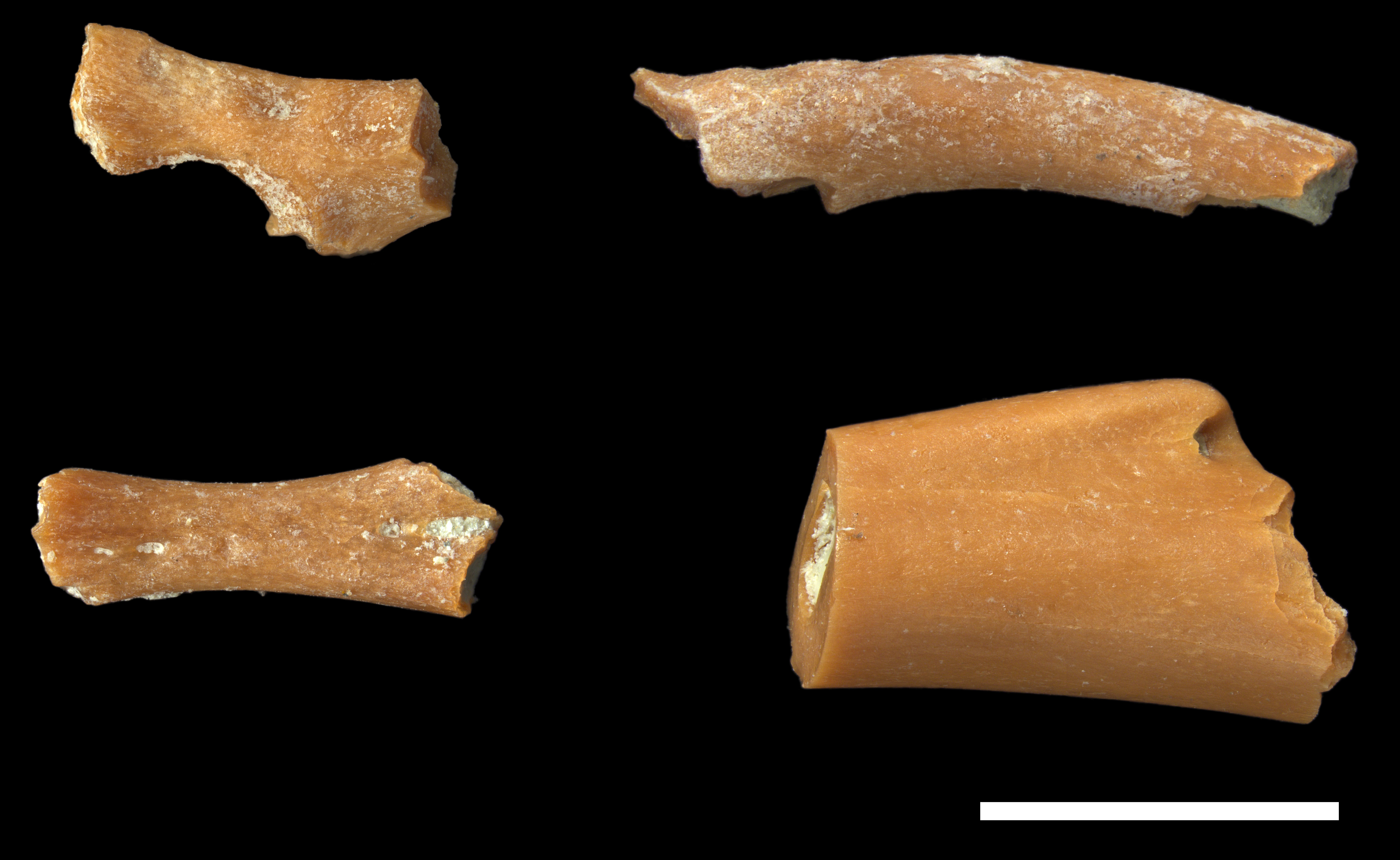 Fossilised leg bones of a newly discovered species of endemic frog, which has been named after...