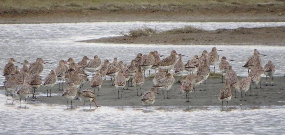 Bar-tailed godwits at the Avon-Heathcote Ihutai Estuary. Photo: Newsline / CCC