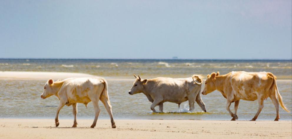 The cows on Cedar Island before the hurricane. Photo: Carolina Wild Ones/Paula D. O'Malley via...