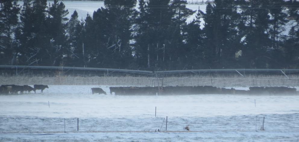 Dairy cows on The Cow Farm at Ettrick huddle together as the wind whips snow over paddocks. PHOTO...