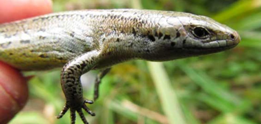 The Te Kakahu skink is classified as ''nationally critical'' because of its numbers and the fact...