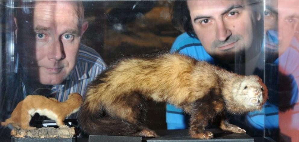 The University of Otago's Prof Neil Gemmell (left) and PhD candidate Aidin Jalilzadeh, pictured with some stuffed ferrets at Otago Museum, are working on a new way of controlling pest populations. Photo by Craig Baxter.