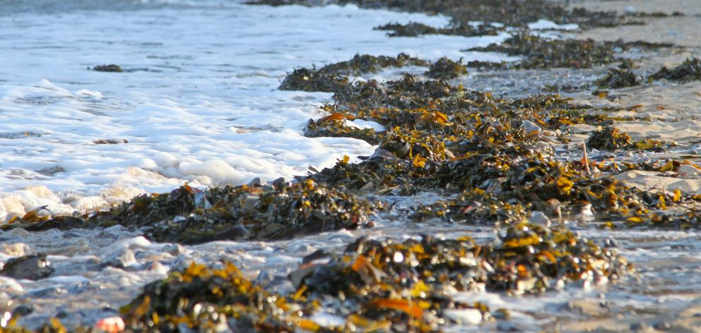 Seaweed is part of many coastal cuisines in Asia and Europe. Maori ate karengo, a red seaweed found on rocky shores, and used bull kelp to store processed muttonbird. Photo: Getty Images