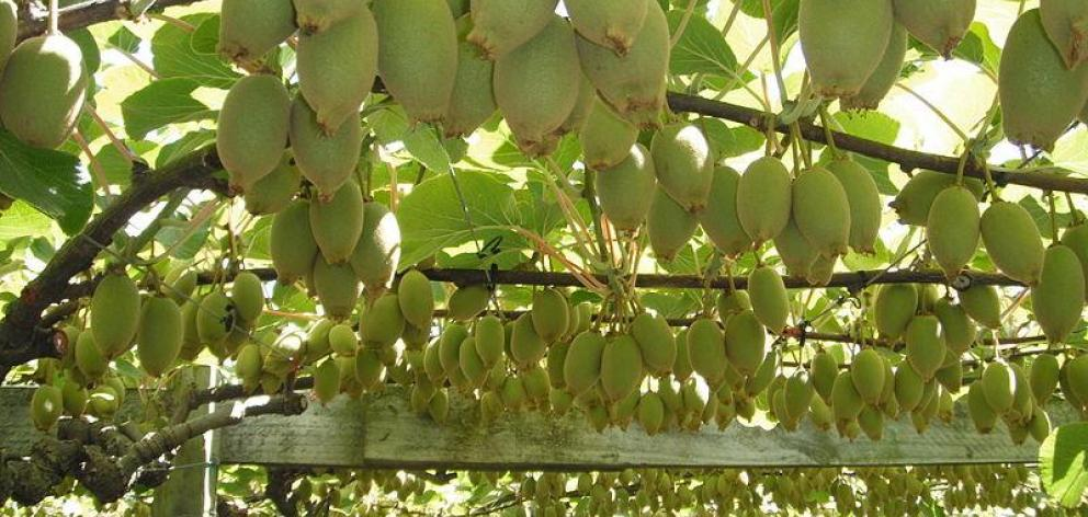 Psa, infected 80% of kiwifruit orchards nationwide after first being discovered in New Zealand...