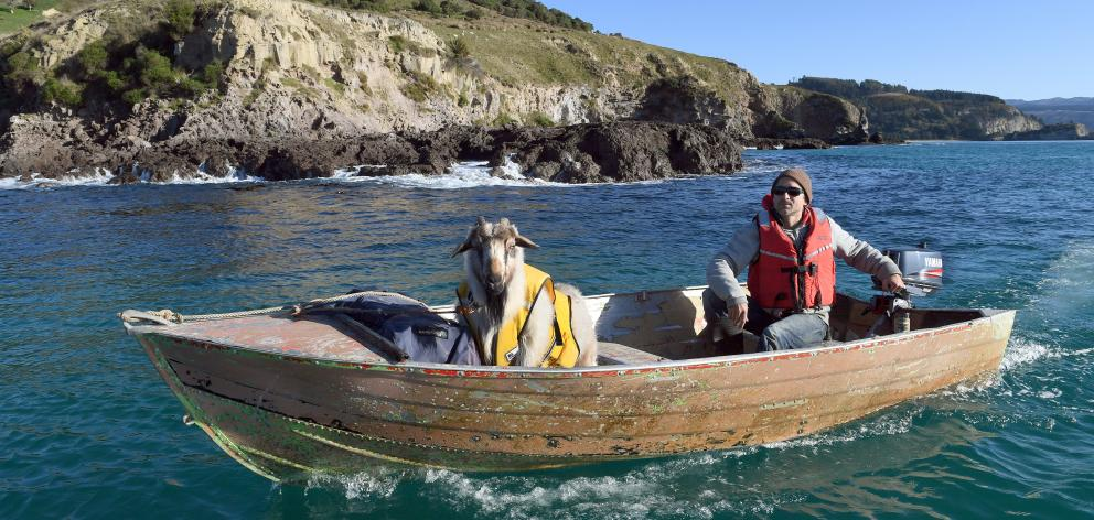 Dan the goat man, from Purakaunui, takes his pet goat Alex around Potato Point to go camping....