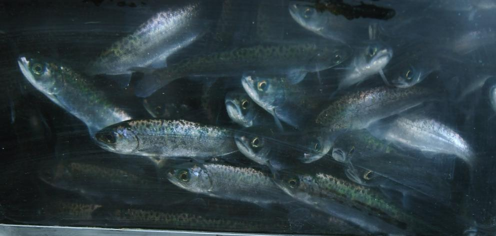 Salmon smolt raised in Canterbury peer out from a trailer before their release into Lindsay Creek...