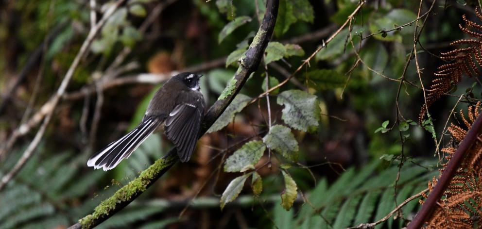 Piwakawaka flit between branches on the tracks around Stewart Island.