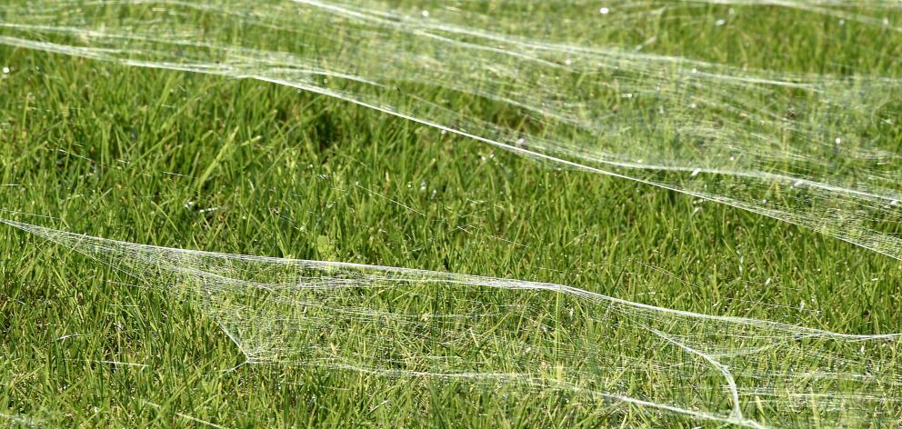 The giant spider web in the Bay of Plenty. Photo: Bay of Plenty Times