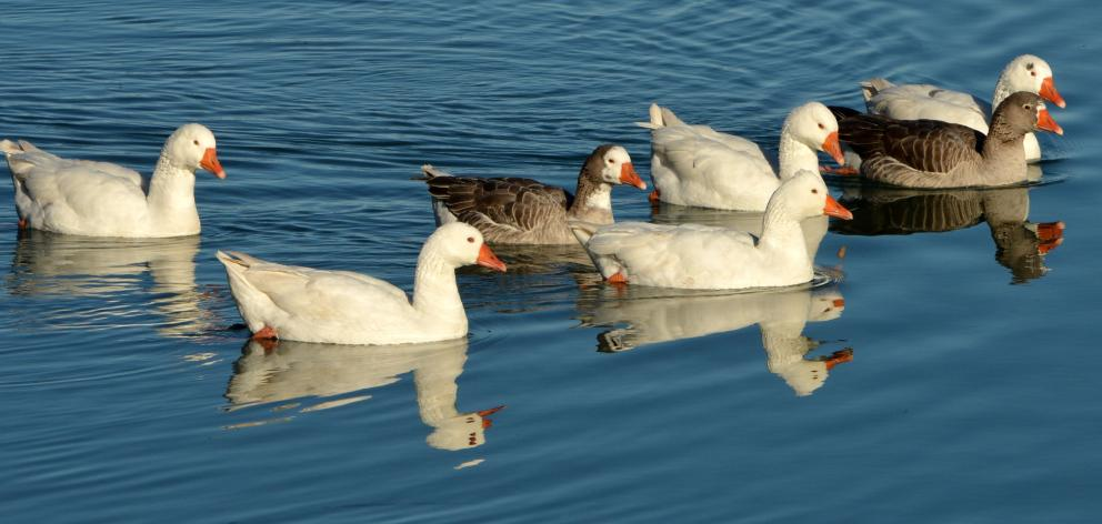 Geese on the water at Port Chalmers before the cull. Photo: Stephen Jaquiery.