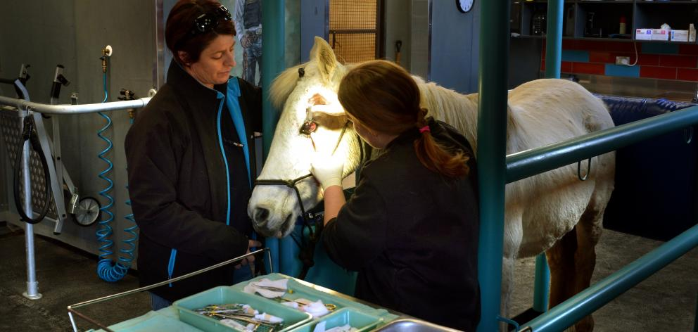 Vet nurse Smiler Macdonald (left) and veterinarian Stephanie Bransgrove operate on an ulcer in...