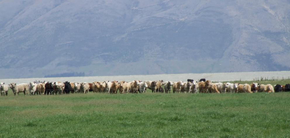 Grass-fed beef will be part of Beef and Lamb's new strategy to develop the red meat sector. Photo...