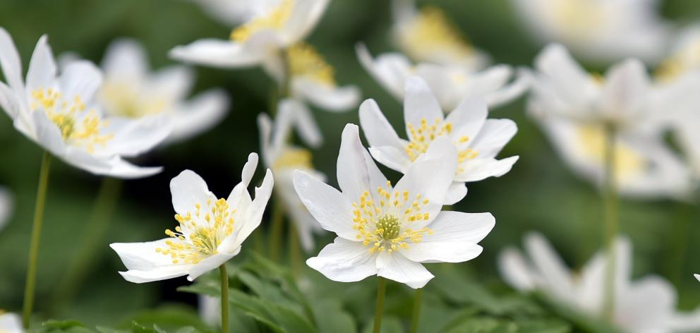 Anemone Nemorosa Photo Peter Mcintosh