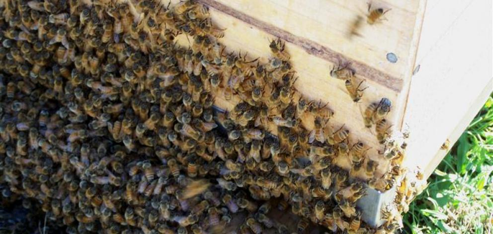 Bees gather at the entrance to their hive and fan the queen's pheromones out to guide their lost...