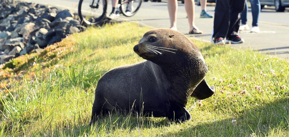 The fur seal affectionately know by locals as 'Dale' has been found dead after being hit by a train. Photo: Stephen Jaquiery